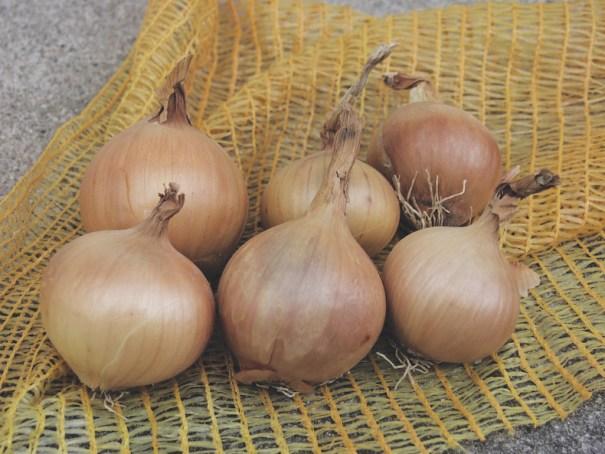 Onion 'Sturon' (Spring Planting) from Thompson & Morgan