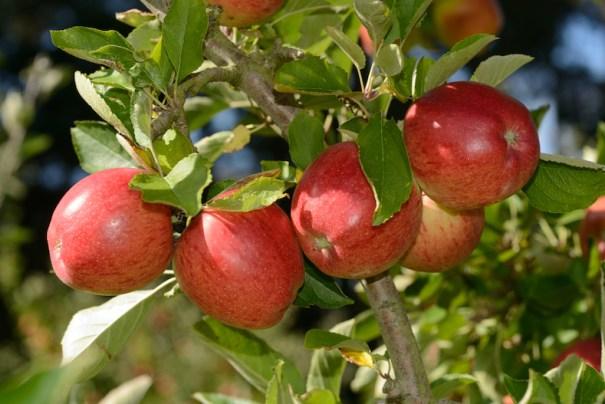 Apple Braeburn from Thompson & Morgan