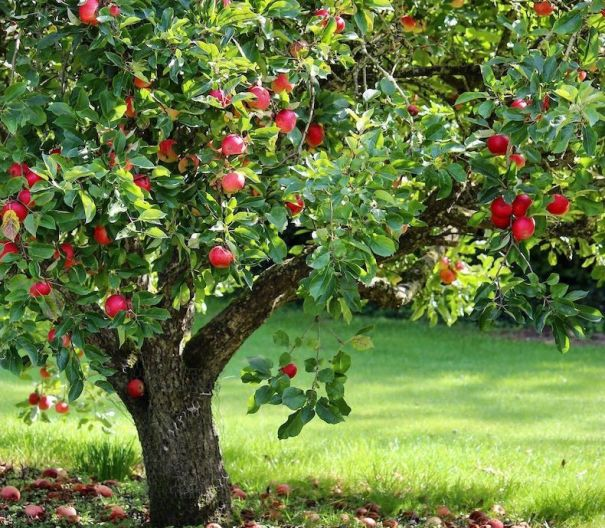 Discovery apple tree covered in fruit