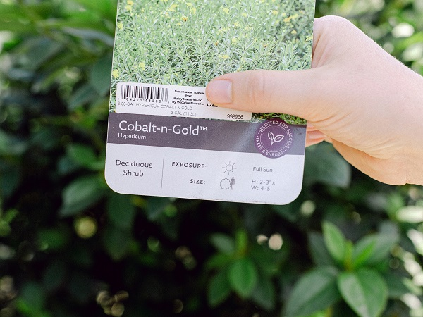 Plant label for Cobalt-n-Gold, held in front of greenery
