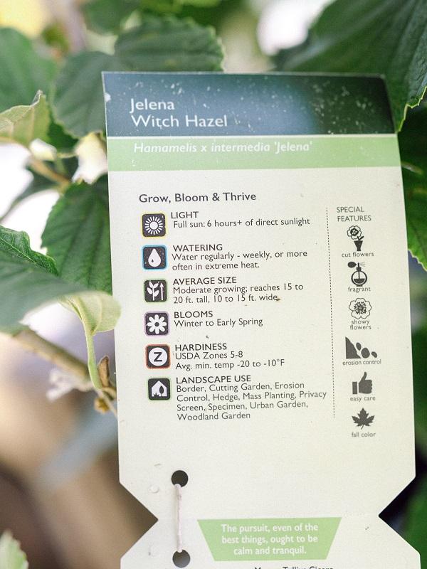 Plant label for Jelena Witch Hazel.