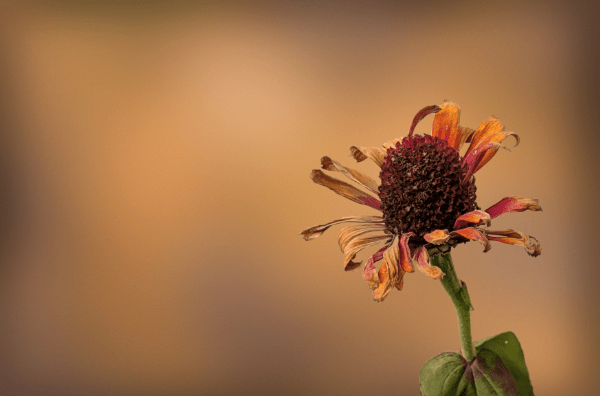 Flower, as it loses its bloom in the fall