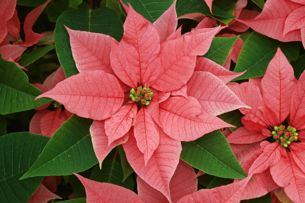 Red poinsettia flowers to show how to care for them.