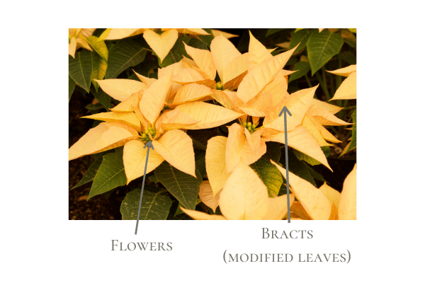 Ivory poinsettias with description of which part is the flower and which is the bract, or modified leaf.