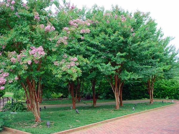 A row of beautiful crape myrtles.
