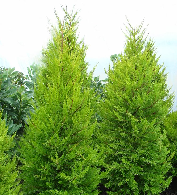 Donard gold monterrey cypress trees from Monrovia as featured on Those Plant Ladies blog post.