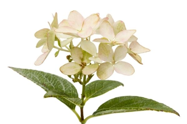 White hydrangea bloom with leaves.