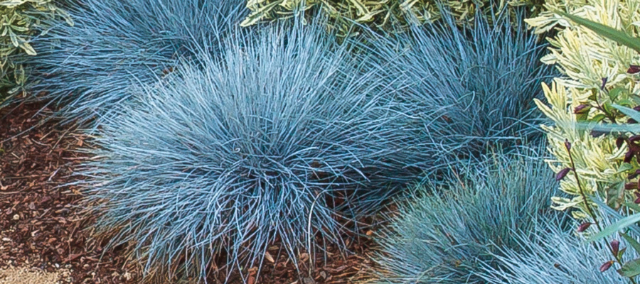 'Cool As Ice' Blue Fescue, the April featured plant for Those Plant Ladies.