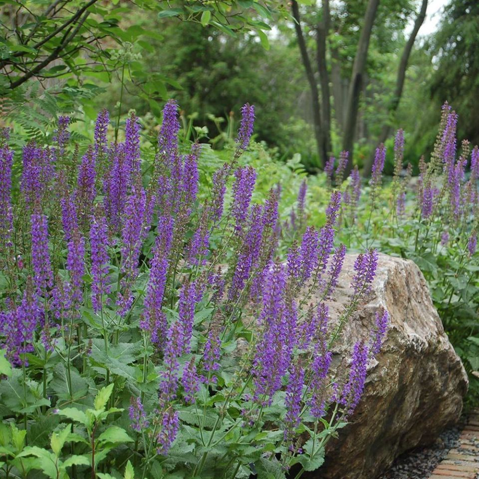 May Night Salvia featured on the Those Plant Ladies blog.