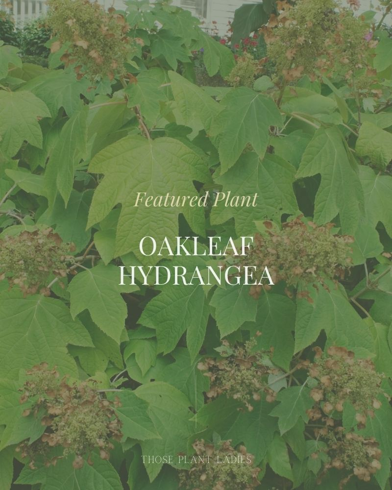 The featured plant for June on the Those Plant Ladies blog: Oakleaf Hydrangea.