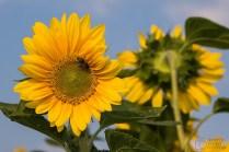 ThorstenSteiner_Sonnenblumen_2