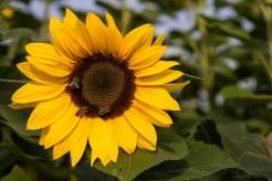 ThorstenSteiner_Sonnenblumen_5