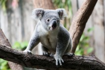 ThorstenSteiner_Koalas_11