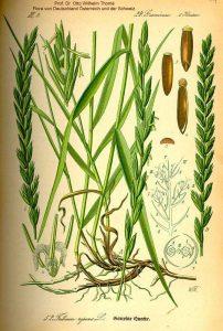 Αγριάδα (Agropyron repens L.)