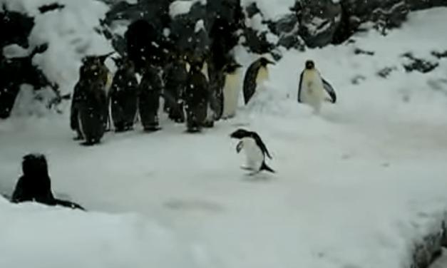 Video of the Week: Happiest Penguin Ever