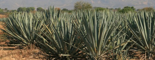 tequila-fields-agave
