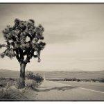 Joshua tree Death Valley