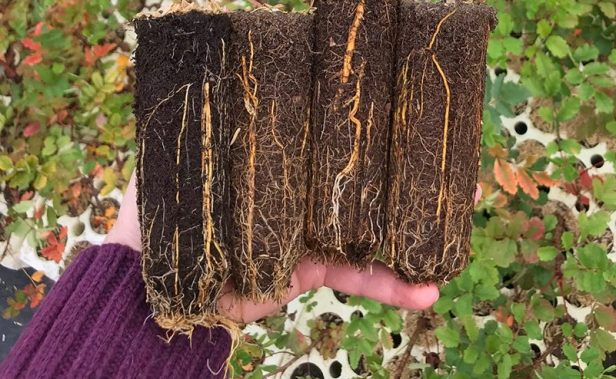 well developed root system for seedling heights