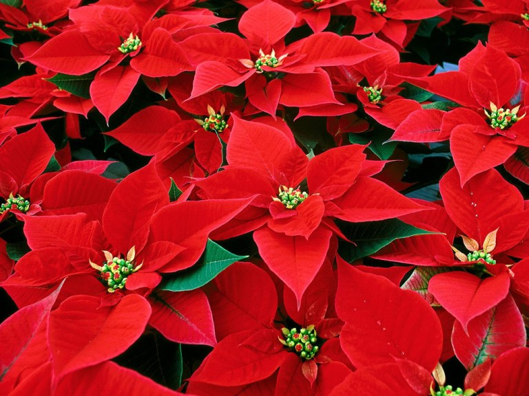 How to look after Poinsettias this Christmas!