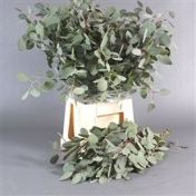 Eucalyptus Populus
