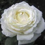 Rose Vitality