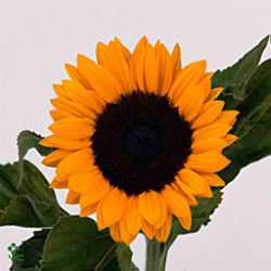 Helianthus-annuus-sunrich-orange-9