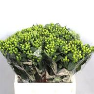 Hypericum Magical Green Power