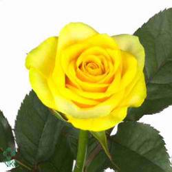 Rose Citran