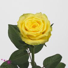 Rose Good Times