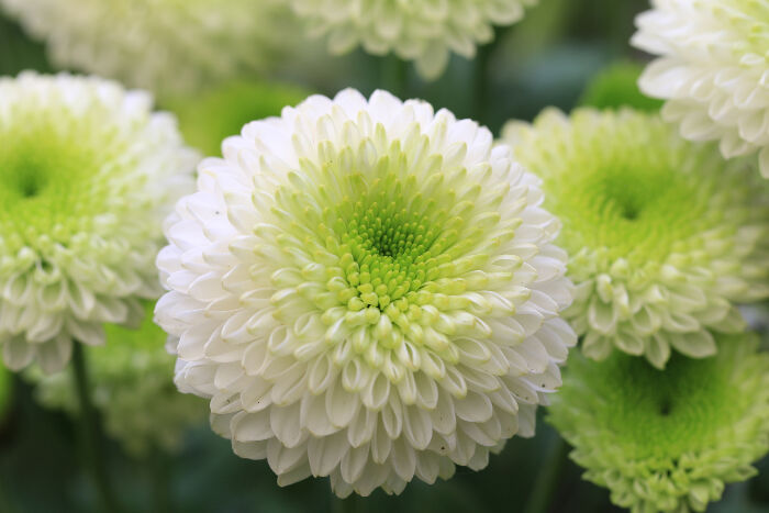 chrysanthemum-meaning