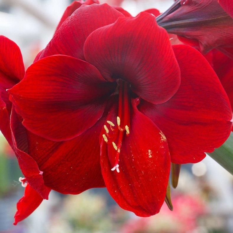34856989 - beautiful red flowers of amaryllis (macro) in spring.