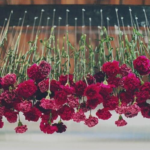 Carnations -Triangle Nursery