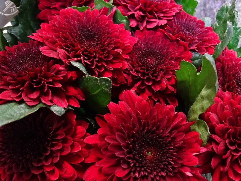 Chrysanthemum Sgl Barca Red
