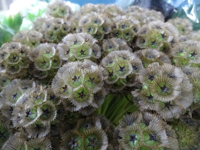 Buy Scabious Stellata online at Triangle Nursery