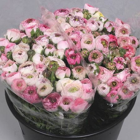 Ranunculus Cappuccino - New Blooms to Market