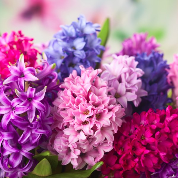 Two Simple Designs using Hyacinths