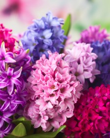 Find seasonal how to guides using Hyacinths - Triangle Nursery