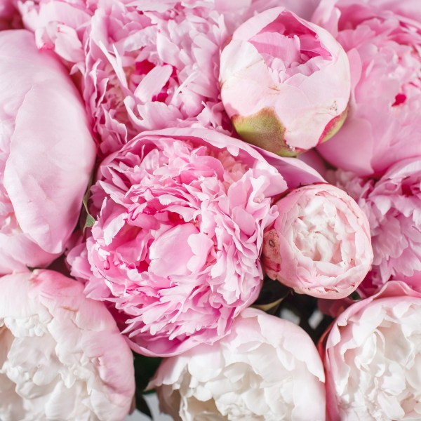 Flower of the Month May: Peony