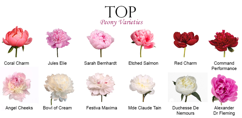 Peony Flower Guide with our floral experts