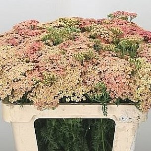 ACHILLEA-LACHSSCHONHEIT - Achillea Flower Guide