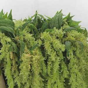 Amaranthus Green Spider - Top Picks this August!