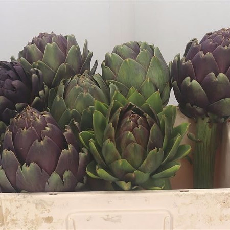 Cynara Artichoke Heads - Wholesale Flowers for everyone!