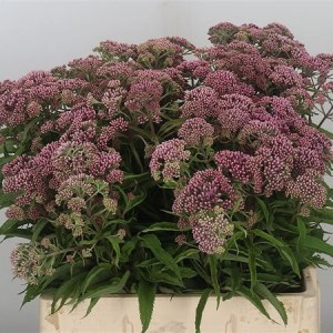 Eupatorium Purpureum - Wholesale Flowers for Everyone!