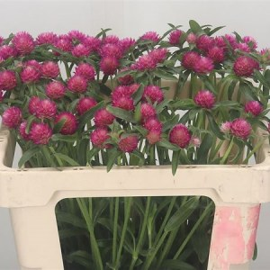Gomphrena Cherry Pink - Top Pick this August 2019