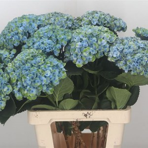 Hydrangea Magical Revolution Blue - Top Picks this August