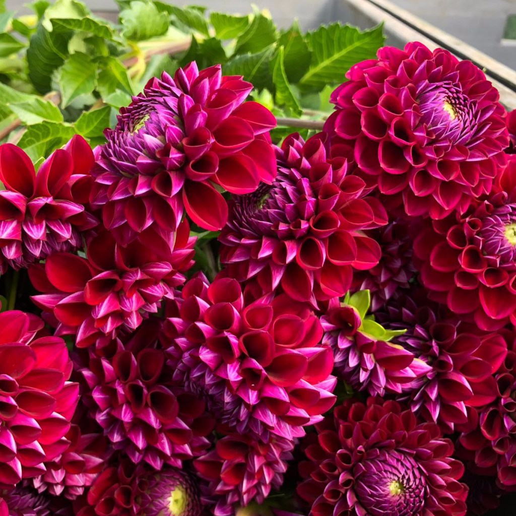 Introduction to Dahlia with Triangle Nursery - Wholesale Flowers Direct