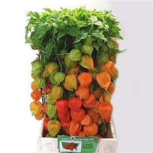 Physalis Wholesale Flowers - Top Picks this August!