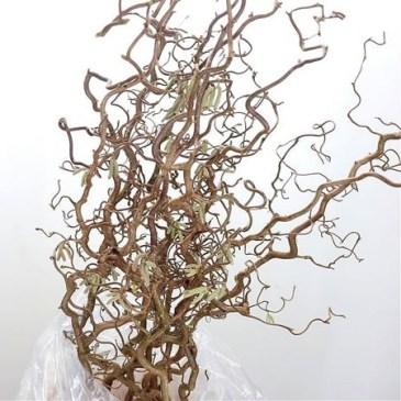 Corylus-Contorta-130cm.jpg