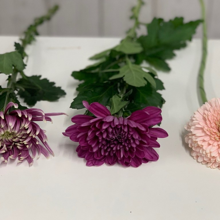 Compare Dahlia to Chrysant and Germini