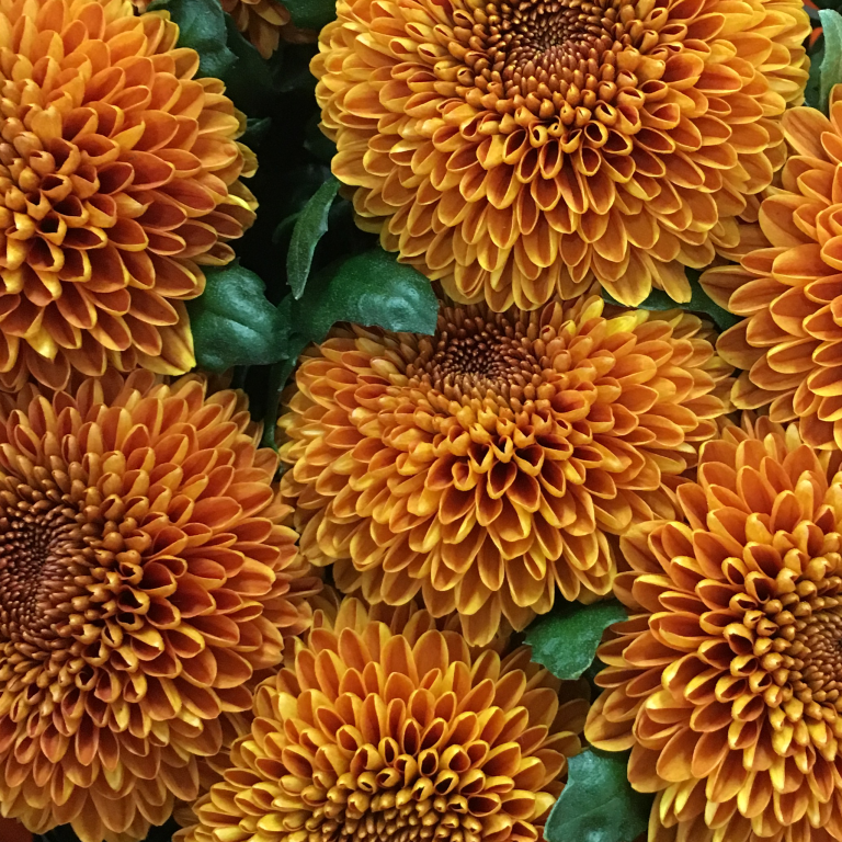 Flower of the Month: Chrysanthemum